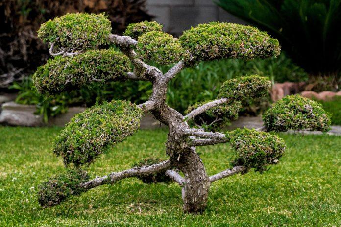 bonsai giardino