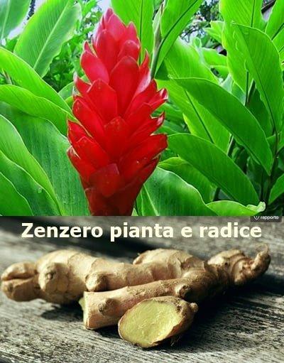 Zenzero pianta e radice