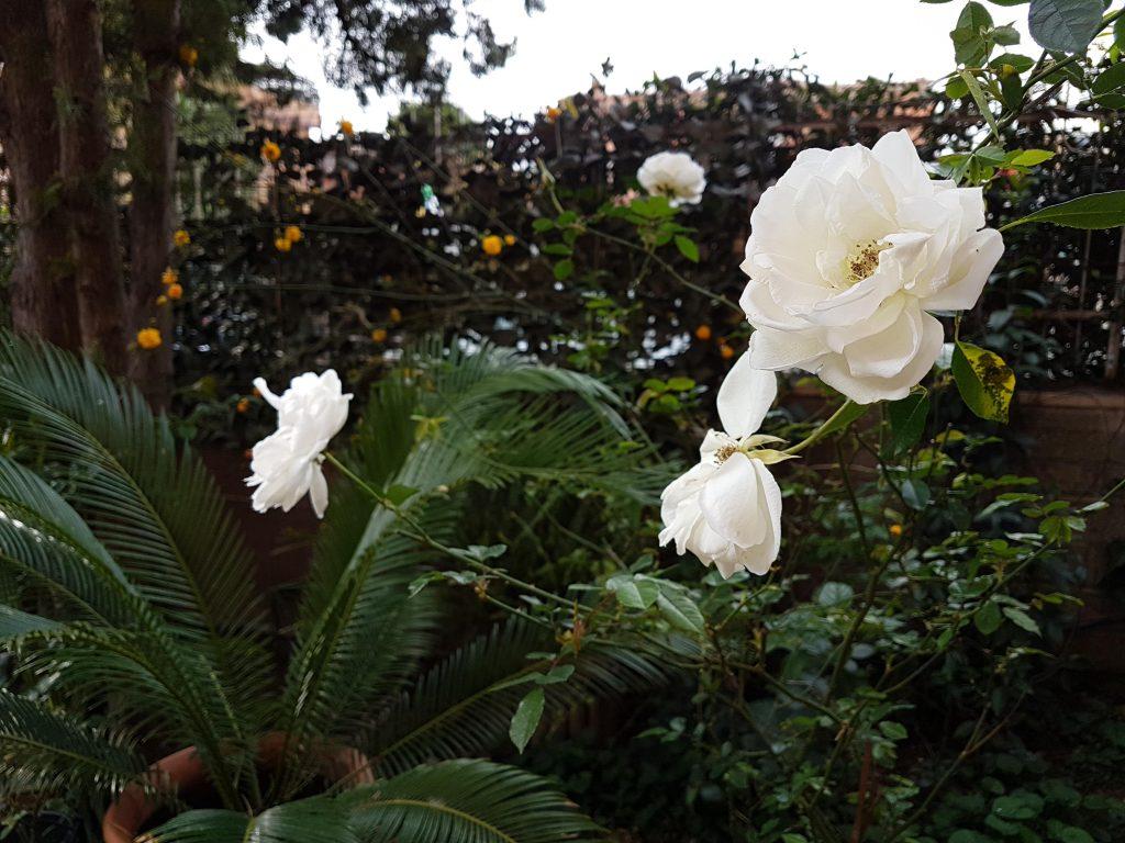 Rose bianche e sullo sfondo Kerria japonica