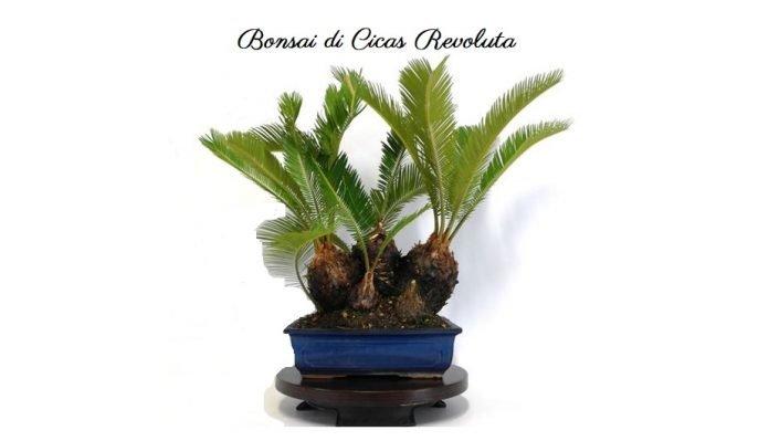 Bonsai di Cicas revoluta coltivazione, rinvaso, esigenze