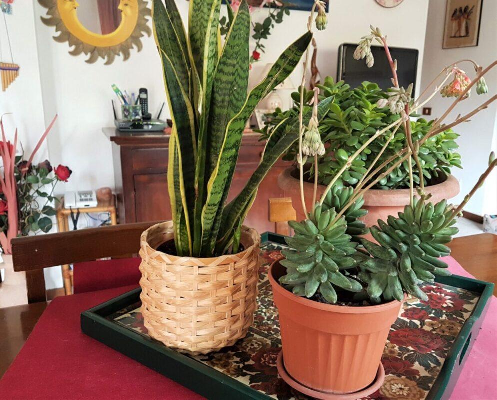 Piante Da Regalare A Pasqua 15 piante grasse decorative che vivono bene in casa