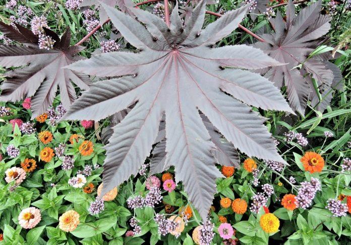 Ricino foglie