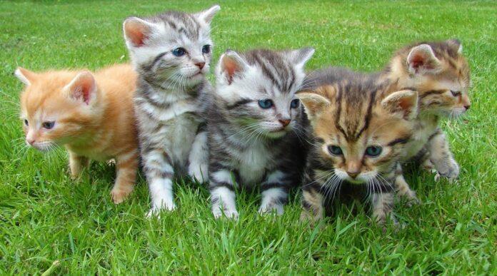 gatti razze feline