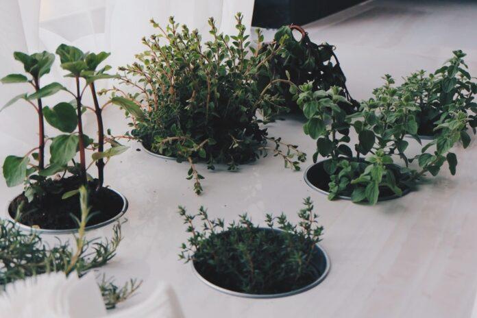 Piante aromatiche vaso