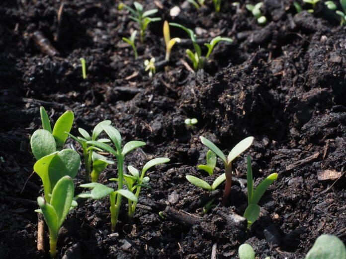 semina e trapianto