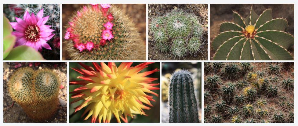 Echinopsis cactus, echinopsis eyriesii pianta grassa con fiori