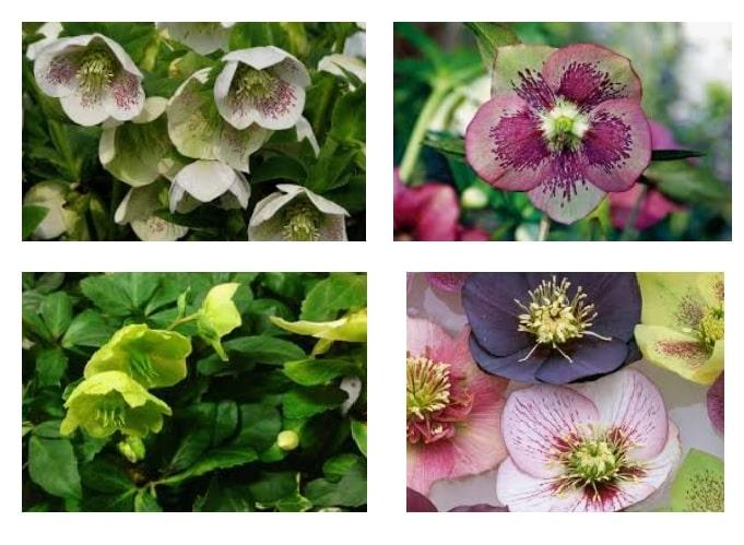 Ellebori fiori e piante Helleborus o rosa di Natale: leggende