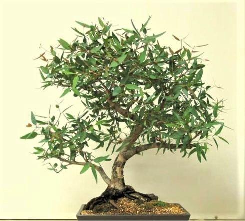 eucalipto bonsai