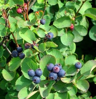 Amelanchier o pero corvino: pianta bacche rosse e viola