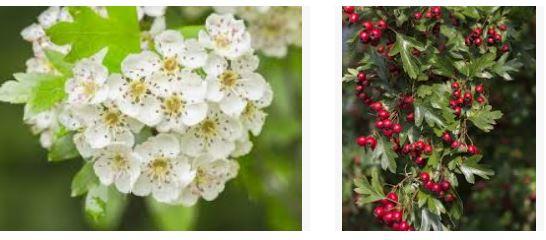 Biancospino crataegus: fiori e bacche mature