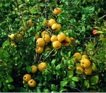 Chaenomeles japonica nota come cotogno giapponese