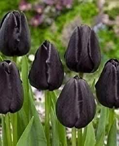 Il tulipano nero la leggenda Persiana