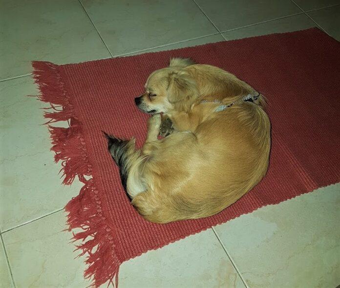 Cucciolo di cane come dare i comandi giusti ad un cagnolino
