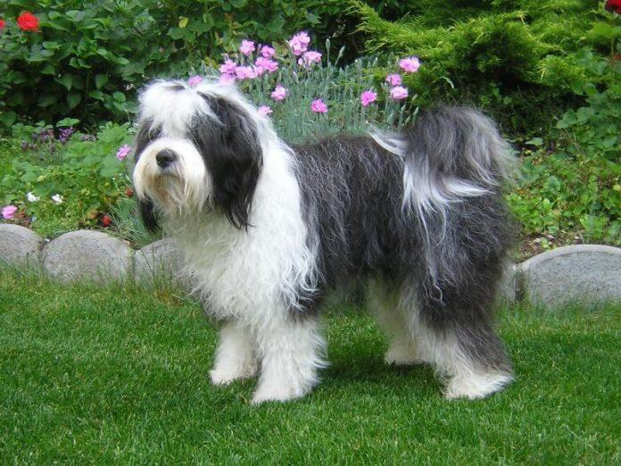Come scegliere il cucciolo di cane giusto le 35 razze ipoallergeniche