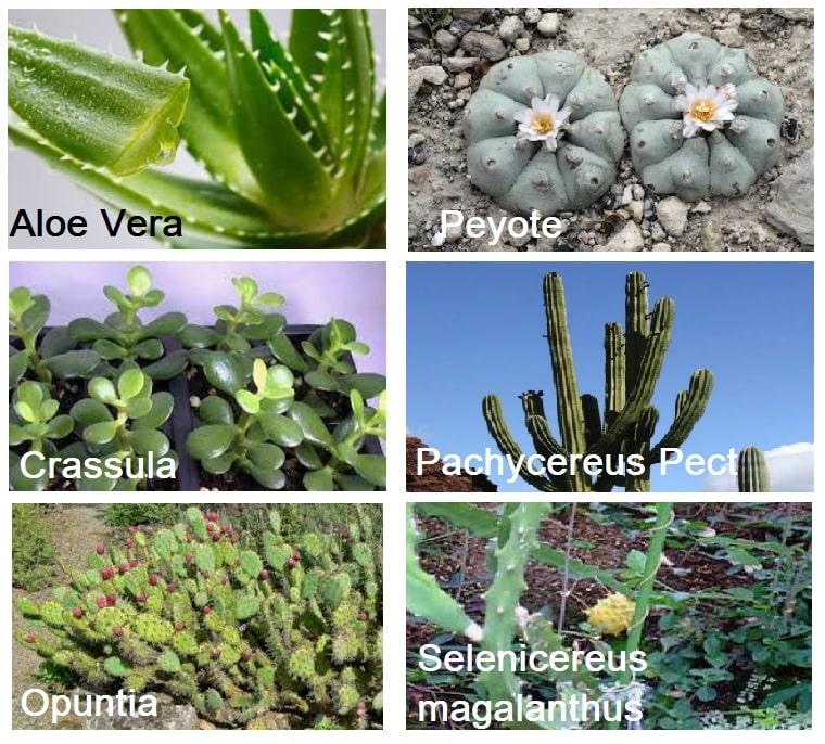 6 piante grasse terapeutiche: proprietà curative piante grasse o succulente