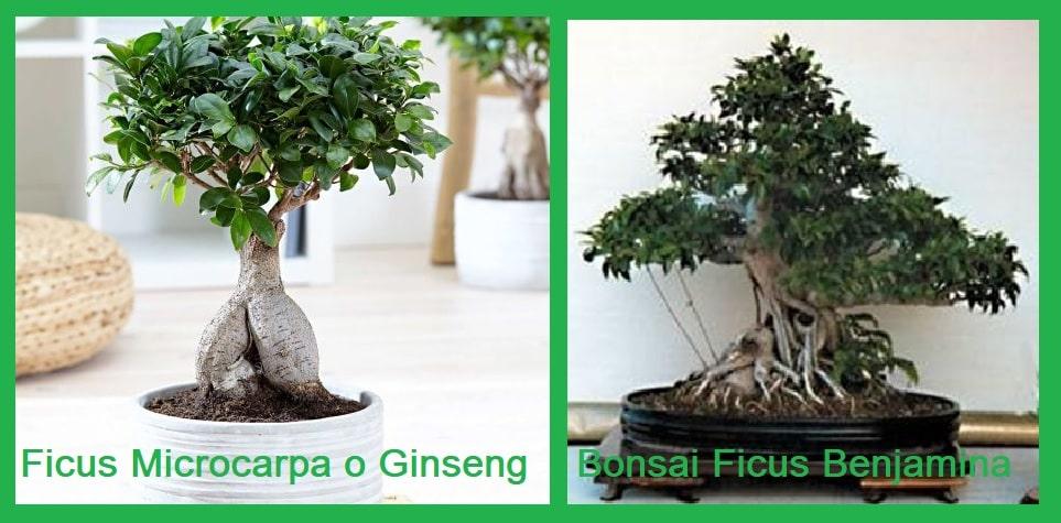Bonsai di Ficus Benjamina e Ficus Microcarpa: come coltivare potare, concimare i bonsai